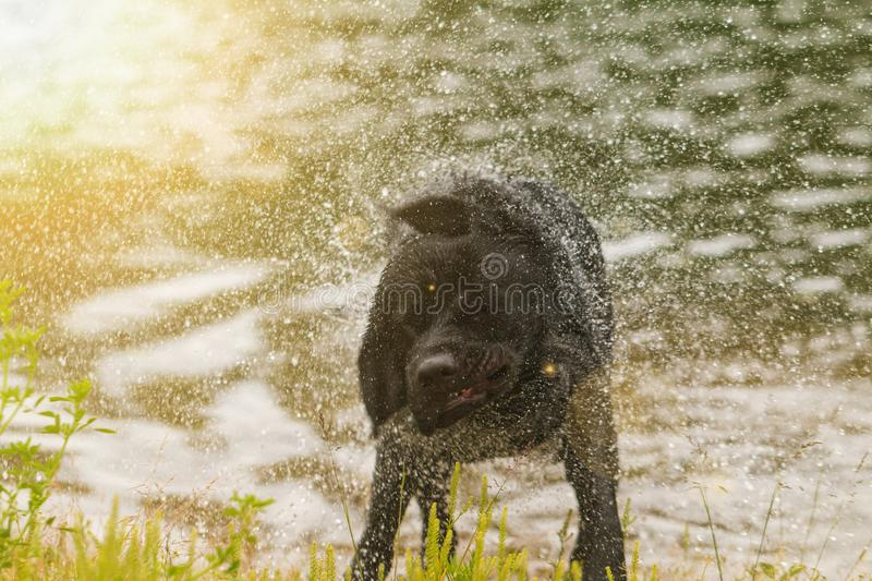 Black Labrador retriever dog. Splash after water bath royalty free stock images