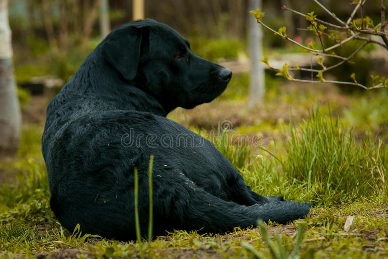 Black labrador retriever on grass took the scent royalty free stock images