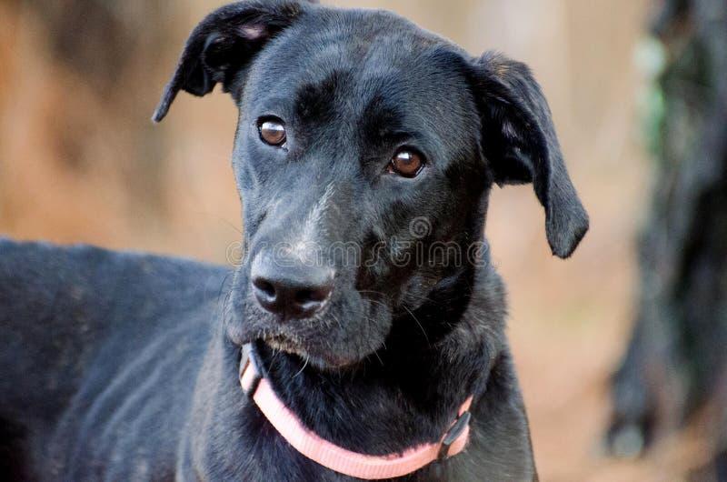 Black Labrador Retriever Great Dane mixed breed. Outdoor pet adoption photography, humane society, Walton County Animal Control royalty free stock photography