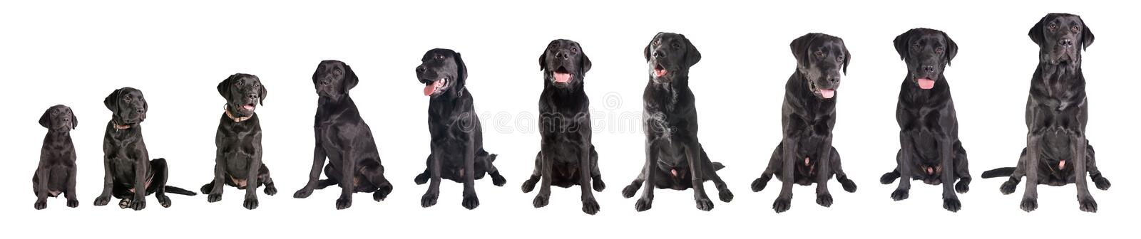 Black labrador retriever growing. 10 Month in the live of a black Labrador retriever growing up isolated on White Background stock images