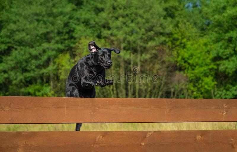 Black Labrador Retriever jumping. Over a wooden obstacle stock photography