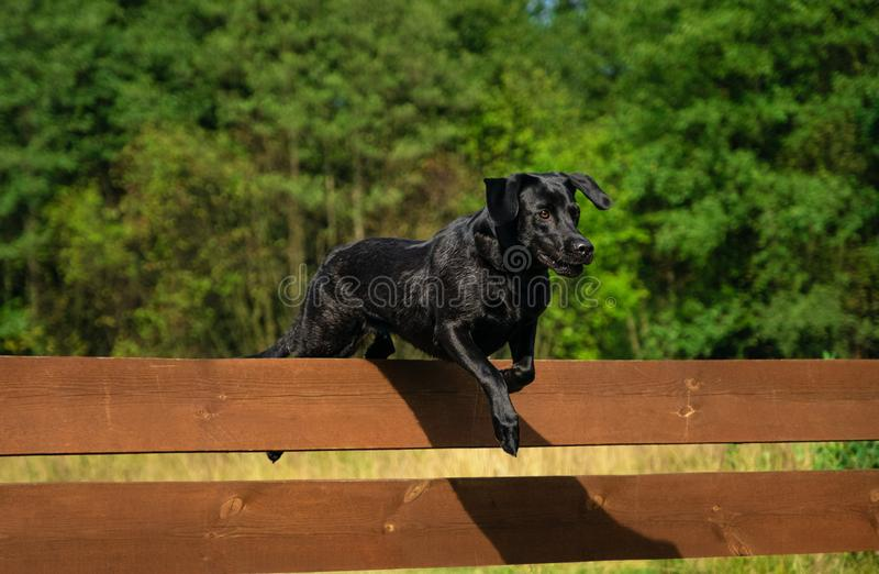 Black Labrador Retriever jumping. Over a wooden obstacle royalty free stock images