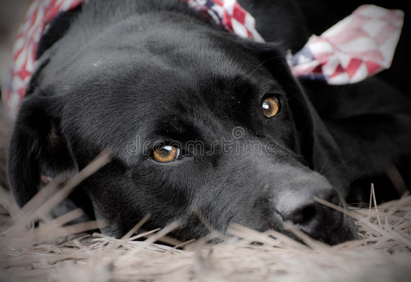 Black Labrador Retriever laying down, american flag bandana. Outdoor pet photography, humane society adoption photo, Walton County Animal Control royalty free stock photography