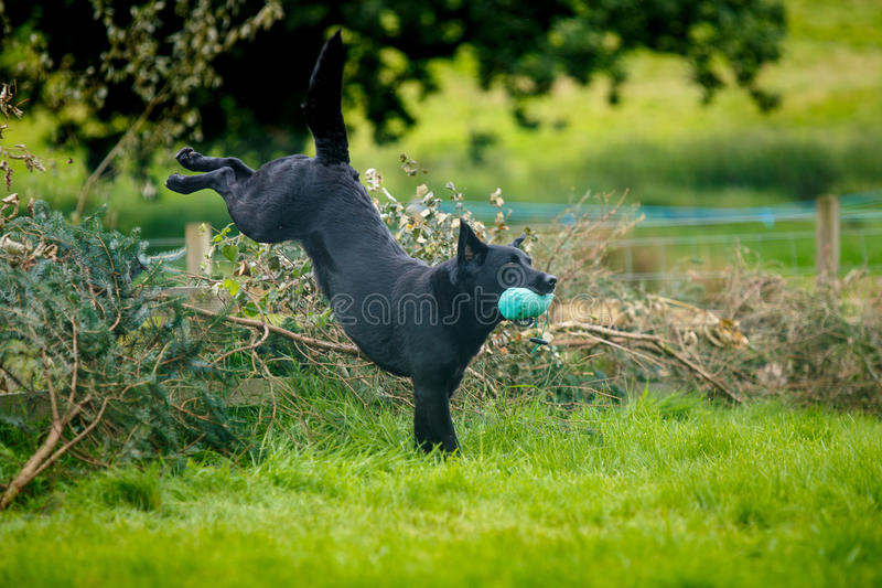 Black Labrador Retriever leaping over hedge. A black Labrador Retriever leaps over a hedge with a toy in its mouth during working dog trials royalty free stock image