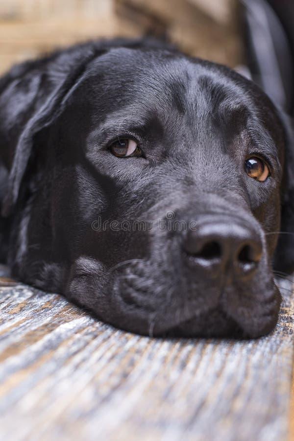 A black labrador retriever lies muzzle on the floor. royalty free stock photography
