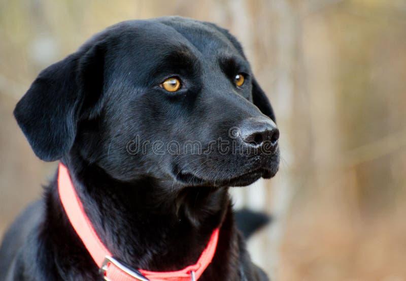Black Labrador Retriever mixed breed dog. Outdoor pet photography, humane society adoption photo, Walton County Animal Shelter, Georgia stock photos