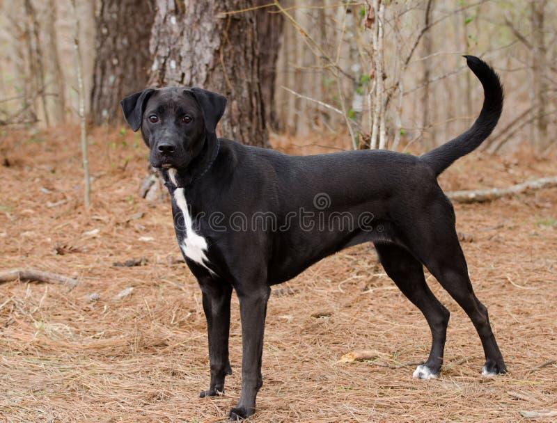 Black Labrador Retriever mixed breed dog. Outdoor pet photography, humane society adoption photo, Walton County Animal Shelter, Georgia royalty free stock photo