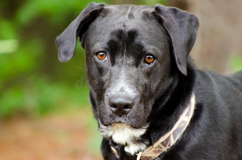 Black Labrador Retriever Mixed Breed Dog. Black Labrador mixed breed dog, Walton County Animal Control, humane society adoption photo, outdoor pet photography royalty free stock photo
