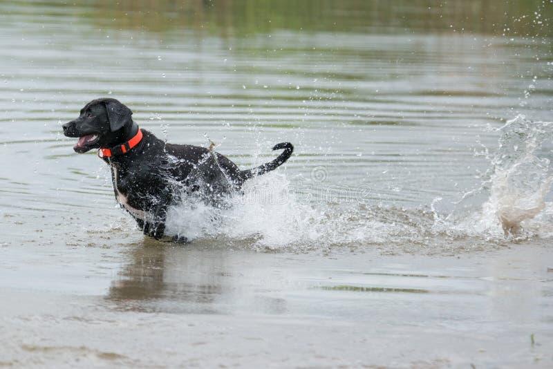 Black Labrador Retriever on the move. Black Labrador Retriever running through water stock photography