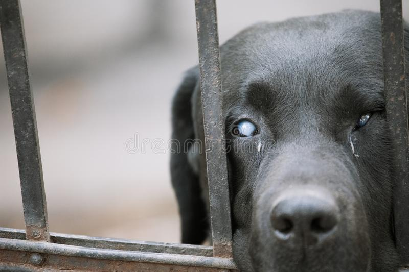 Black labrador retriever outdoors waiting for owner against the fence - Aging pet concept background.  stock photo