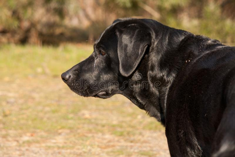A black labrador retriever. Posing, from the side royalty free stock photos