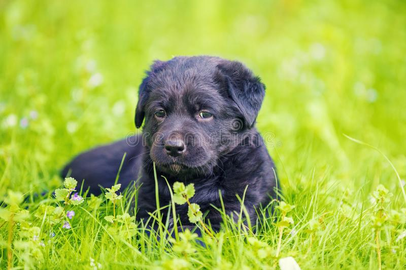 Black Labrador Retriever Puppy in the Garden. Black Puppy Labrador retriever lies on the grass stock image