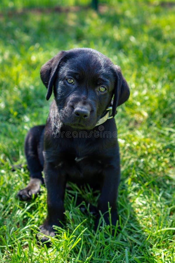 Black labrador retriever puppy sitting in the yard green gras stock image