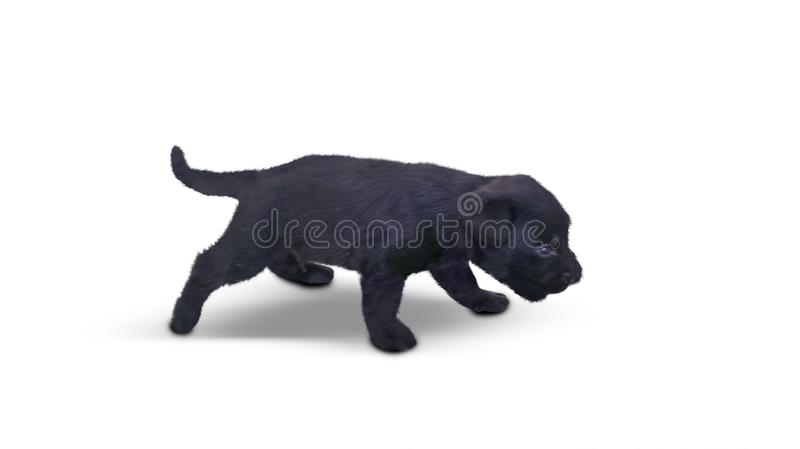 Black Labrador Retriever puppy in the studio. Image of a black Labrador Retriever puppy in the studio, isolated on white background stock image