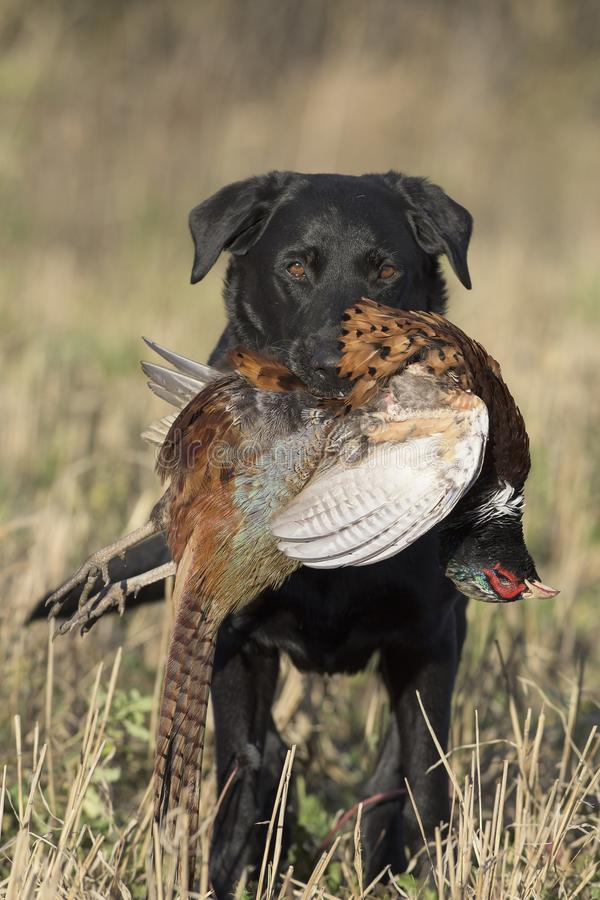 A Black Labrador Retriever with Rooster Pheasant. In South Dakota royalty free stock photo