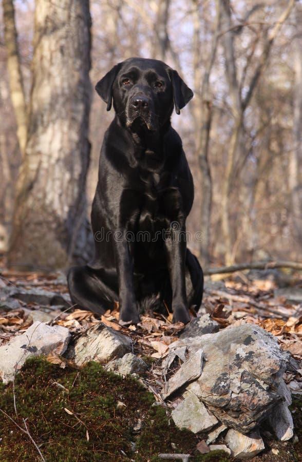 Black Labrador Retriever Sitting stock images