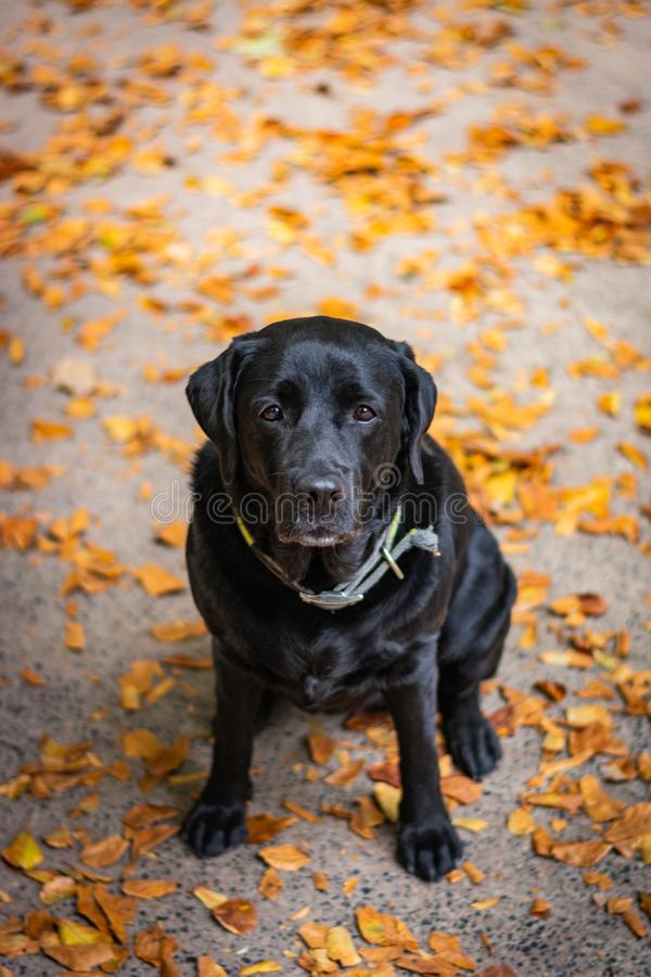 Black Labrador Retriever sitting on the gray ground and looking forward during autumn, dog has green collar. Orange leaves are around stock images