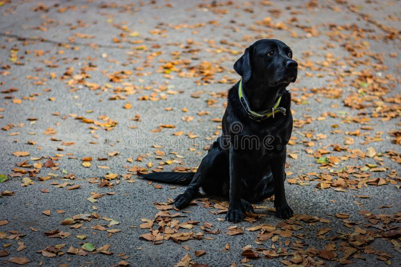 Black Labrador Retriever sitting on the gray ground and looking right during autumn, dog has green collar, orange leaves are aroun. D royalty free stock image