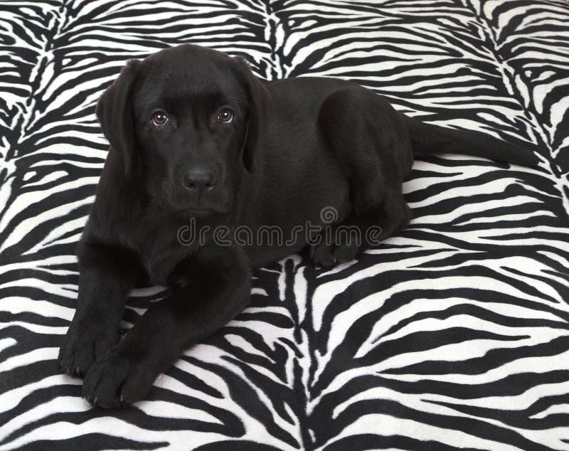 Download Black Labrador Retriver Puppy Royalty Free Stock Images - Image: 23693329