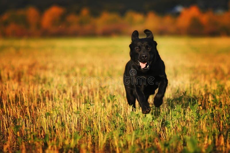 Black labrador running. Through an autumn field royalty free stock photography