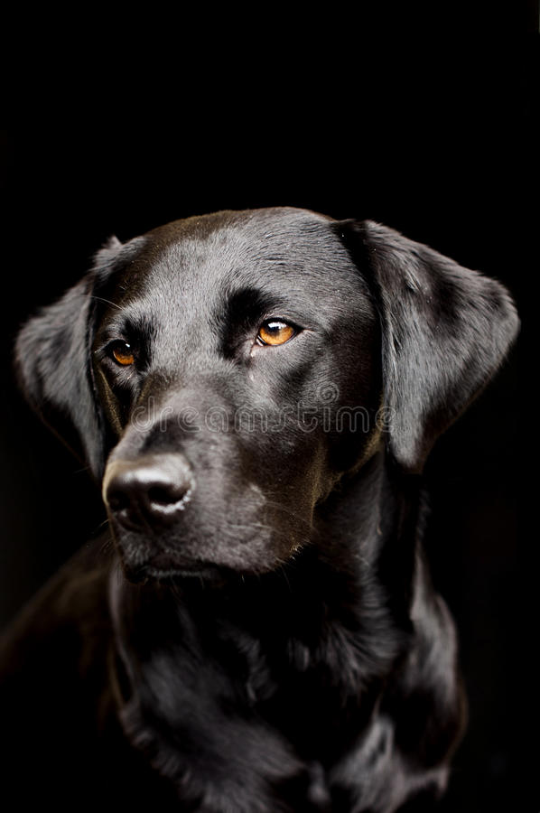 Black labrador. Shot of a beautiful black Labrador on black stock photo
