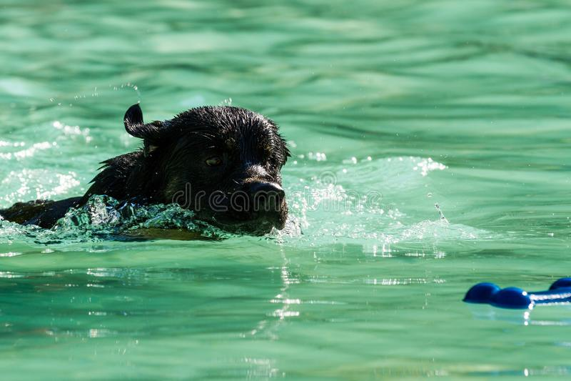 Black Labrador swimming stock photo