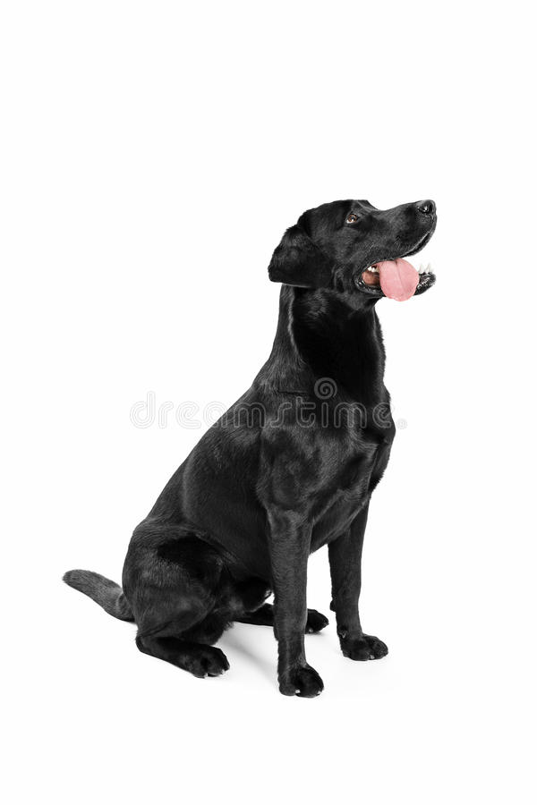 Black Labrador. On white background stock images