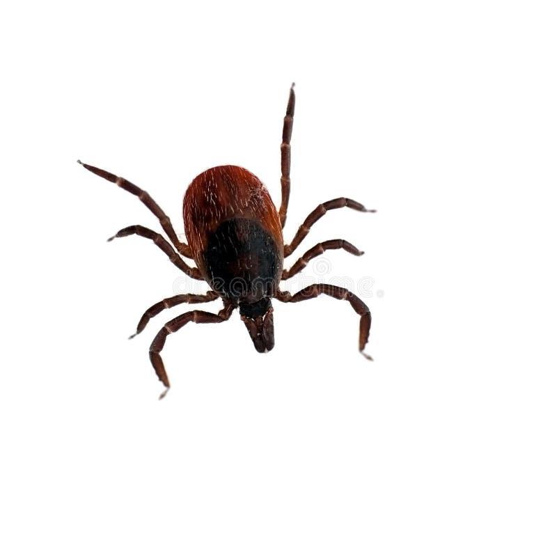 Black lade benen på ryggen hjortticken - Ixodesscapularis royaltyfri foto
