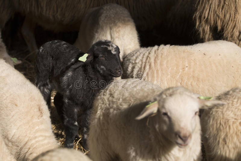 Black lamb. Standing between white lambs stock photography