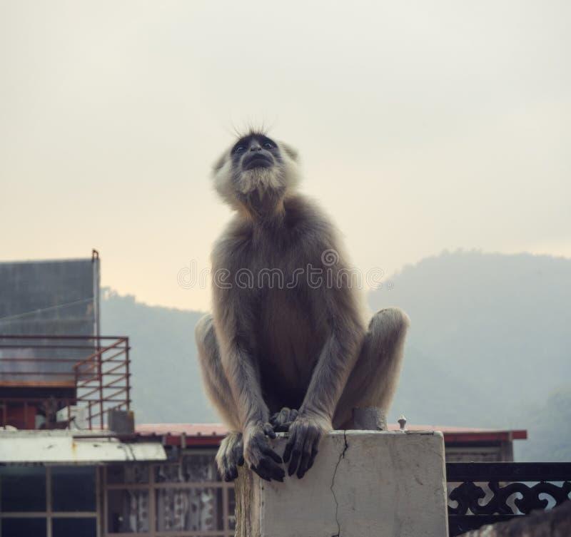 Black langur monkey in Rishikesh royalty free stock photography