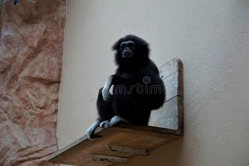 Black lar gibbon sitting on bench looking. A black lar gibbon sitting on bench and looking stock photography