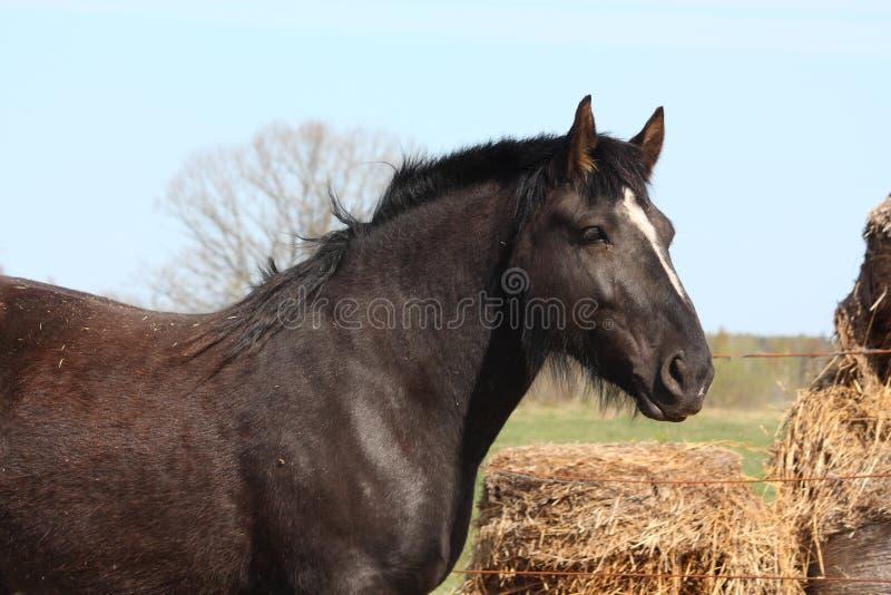 Download Black Latvian Draught Horse Portrait Stock Photo - Image: 26884738