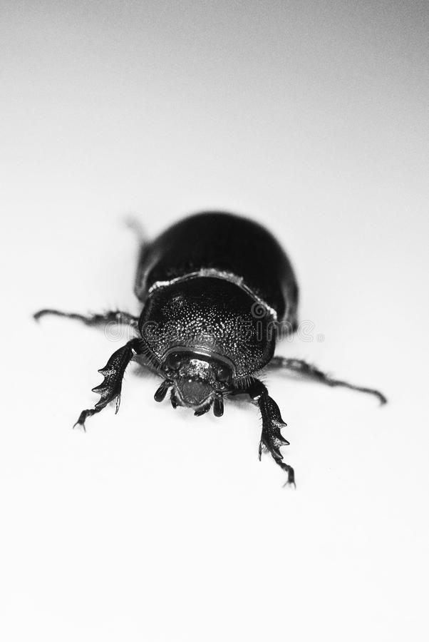 Download Black Lawn Beetle stock image. Image of arthropod, ratmandude - 17991337