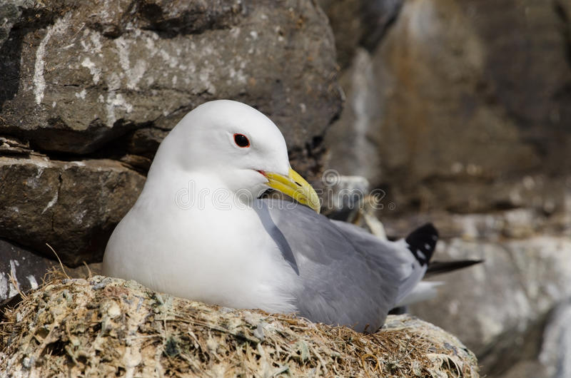 Black-legged Kittiwake lizenzfreie stockfotografie
