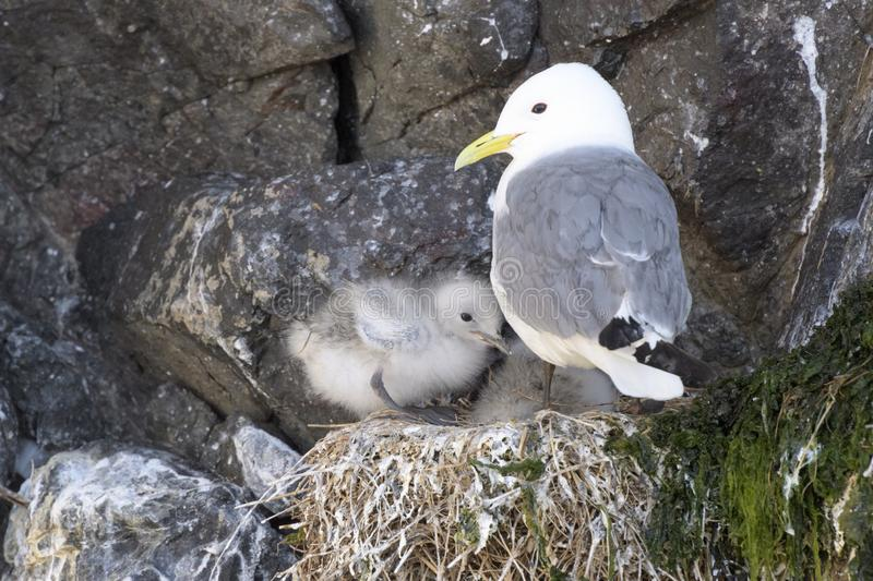Black-legged kittiwake adult with chicks, at nest stock photos