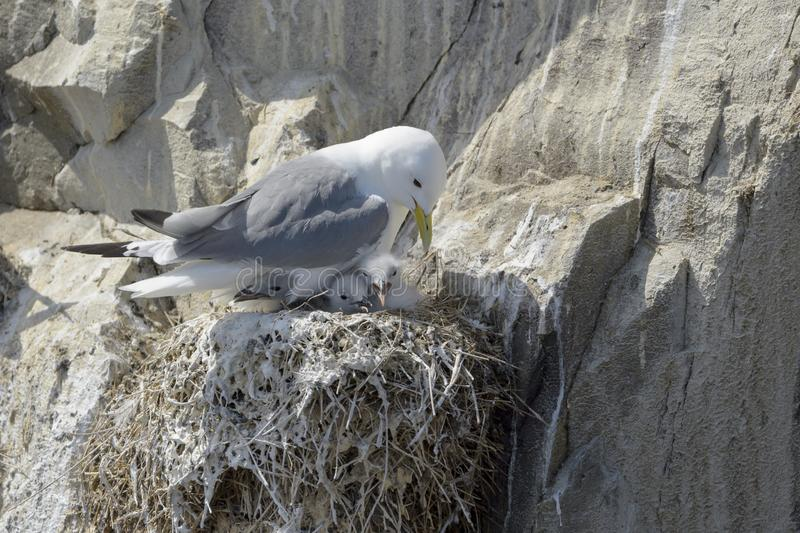 Black-legged kittiwake adult with chicks, at nest royalty free stock photography