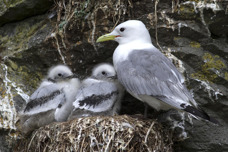 Black-legged kittiwake adult and two chicks in the nest royalty free stock photo