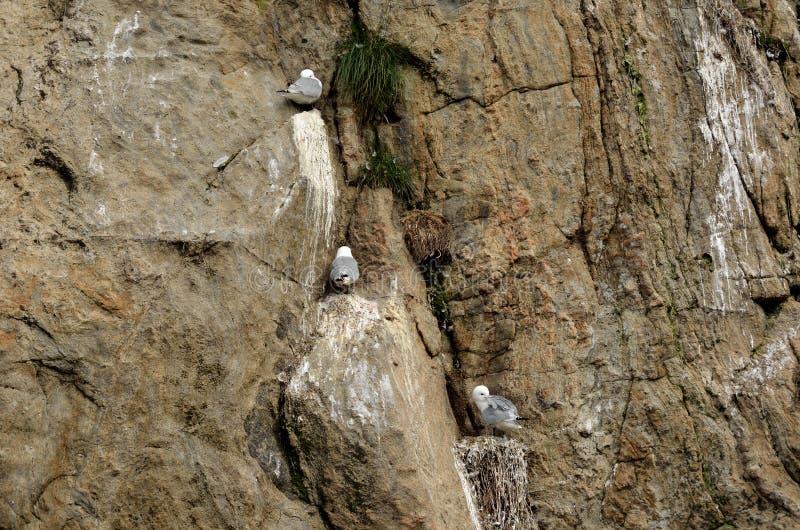 Black-legged kittiwake birds on nesting cliffside in summer royalty free stock photo