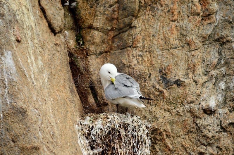 Black-legged kittiwake birds on nesting cliffside in summer stock photo
