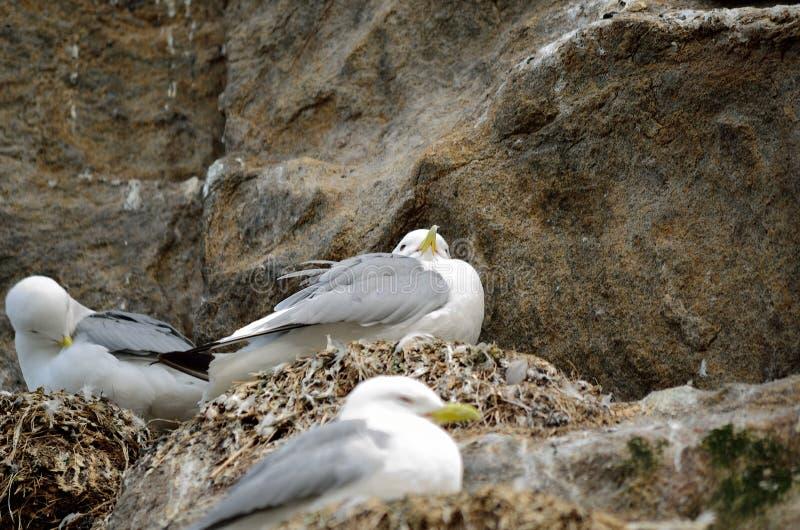 Black-legged kittiwake birds on nesting cliffside in summer stock photography