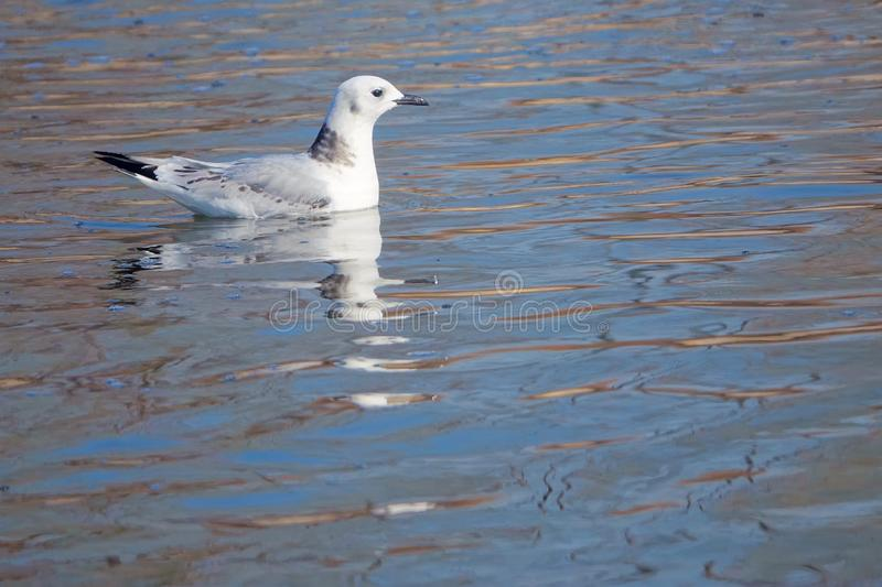 Black-legged Kittiwake royalty free stock photography