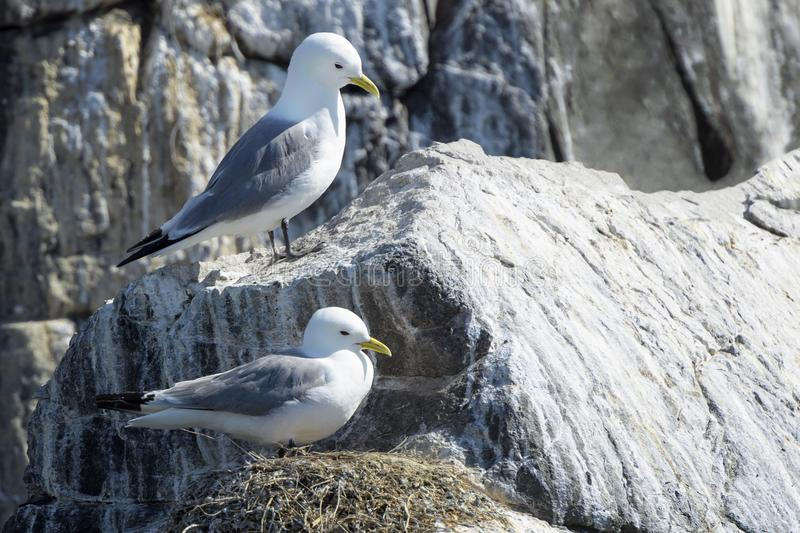Black-legged Kittiwake on cliff ledge, stock photo