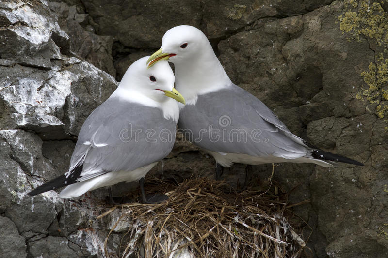 Black-legged kittiwake couple sitting on the rocks near stock photography