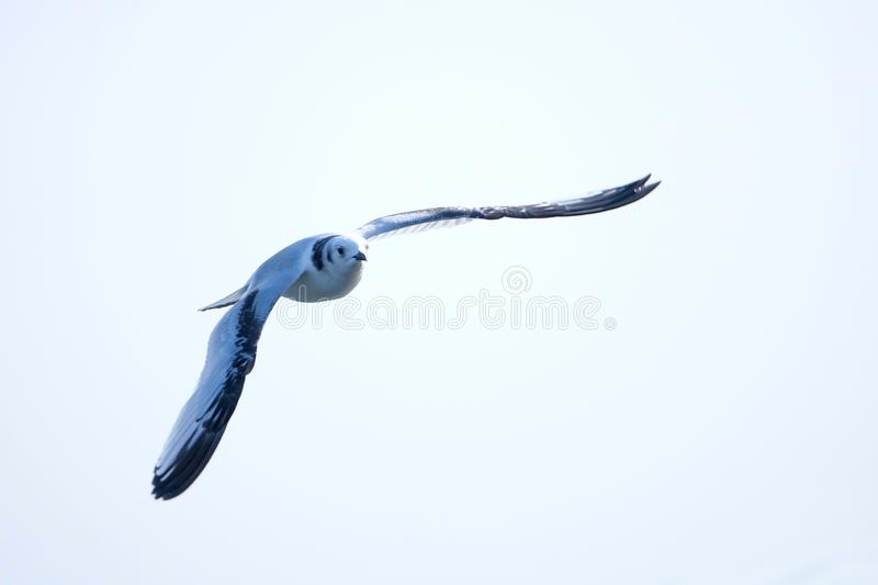 Black-legged Kittiwake royalty free stock image