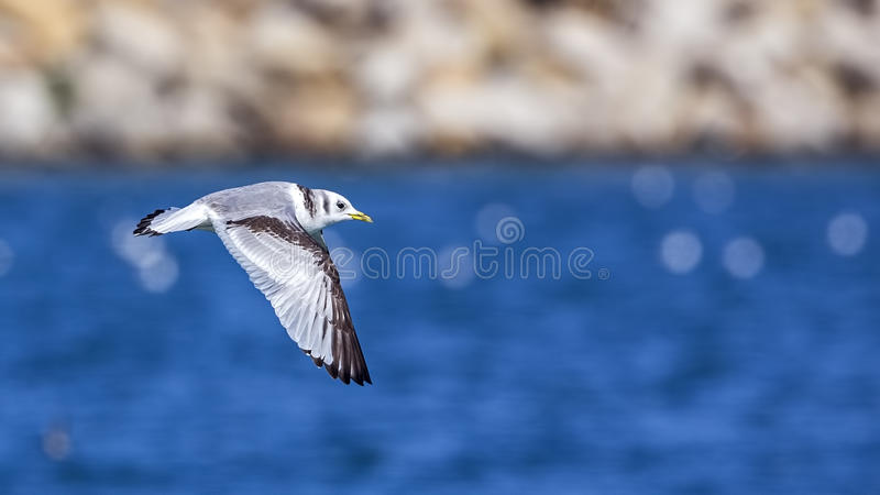 Black-legged Kittiwake in Flight royalty free stock image