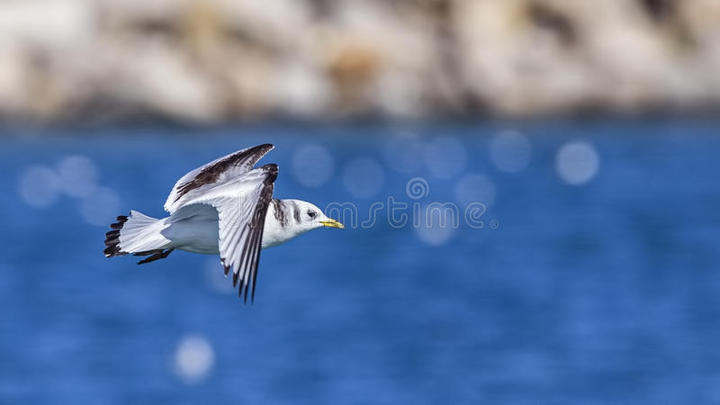 Black-legged Kittiwake in Flight royalty free stock photo