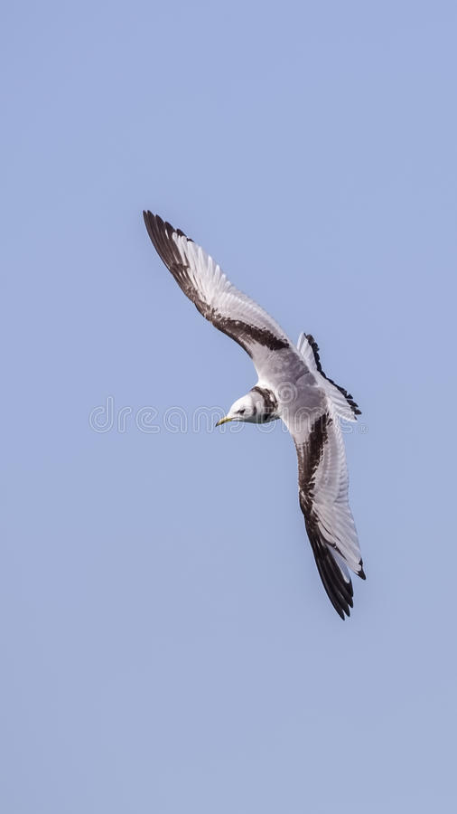 Black-legged Kittiwake stock photography