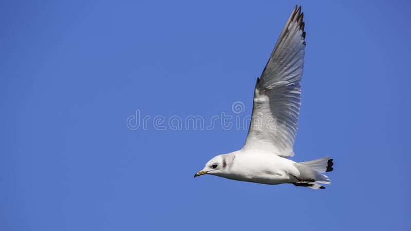 Black-legged Kittiwake stock images