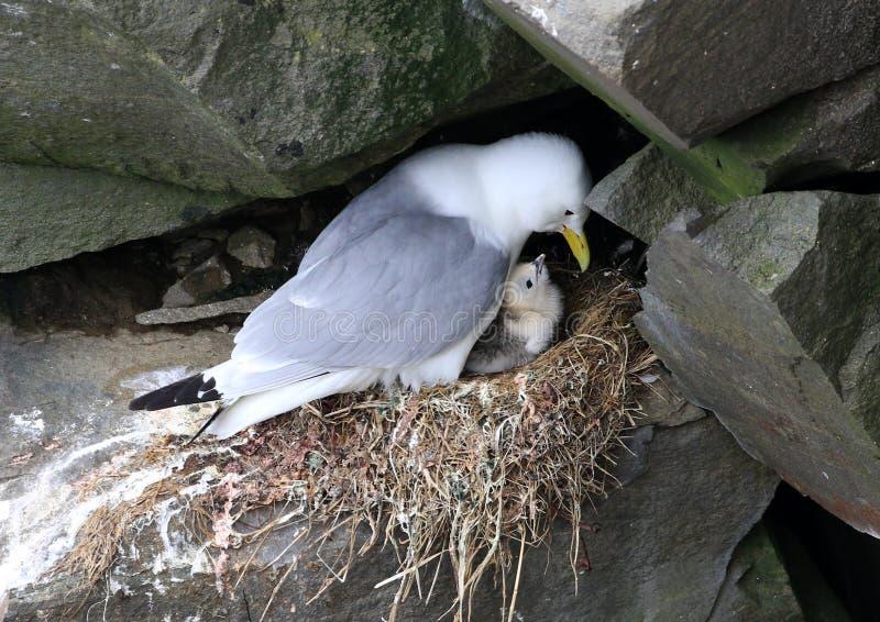 Black-legged Kittiwake sitting on nest with Baby, Newfoundland stock photography