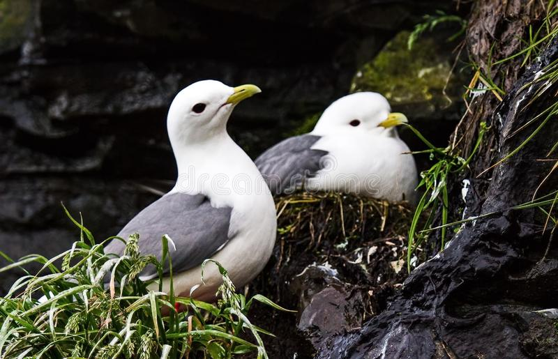 Black-legged Kittiwake. Two seagull guarding their nests with offspring on a cliff. Colony bird on the high rocks royalty free stock photography